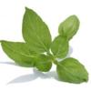 Manjericao (molhe) - orgânico